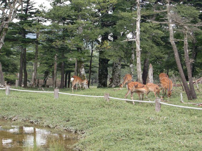 たくさんの野生のシカが!東大台コースは1周約9キロ、約4時間(日出ヶ岳までの往復なら1時間)
