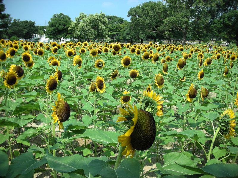 大阪万博記念公園の夏はひまわりがいっぱい♪