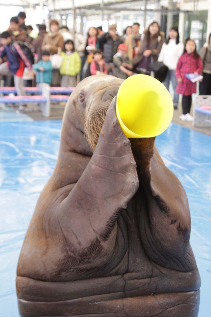 飼育種類日本一の「鳥羽水族館」のセイウチパフォーマンス笑(ショー)は必見