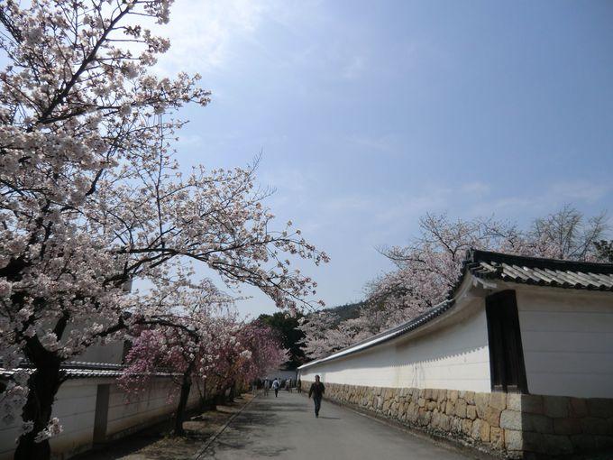 白壁に映える参道の桜並木