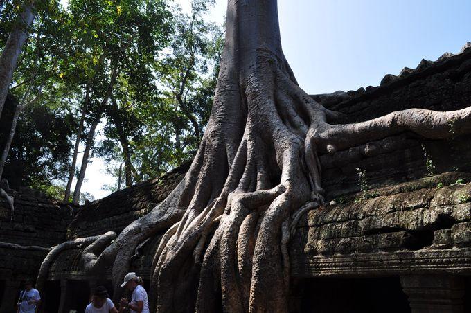 樹齢300〜400年のガジュマルと一体化した遺跡、タ・プローム