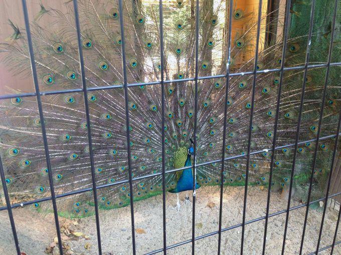立派な羽根の「孔雀」がお出迎え