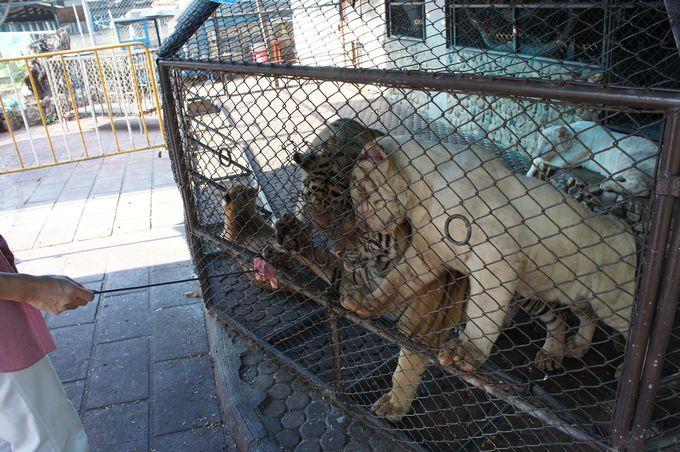 象にトラ、カバやオランウータンなど他の動物も見もの!