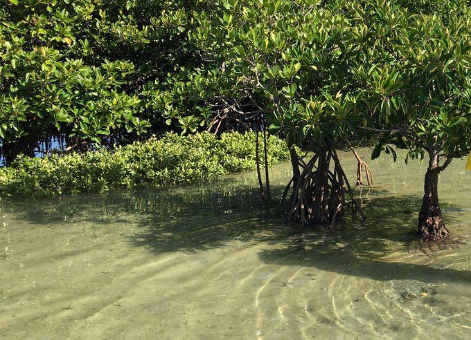 浅瀬に降りてマングローブ林散歩
