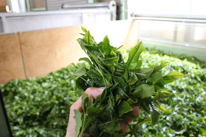 茶葉の香り漂う工房でお茶の製造過程を見学