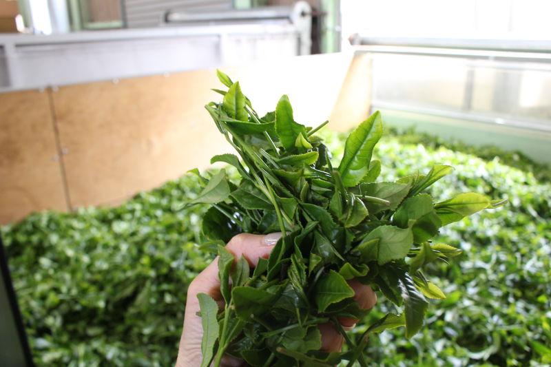 茨城・古河市の老舗茶園!「吉田茶園」でお茶ツーリズム体験