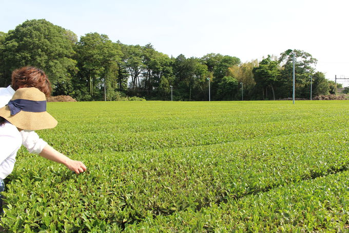 広大な茶畑に趣ある煉瓦倉庫など見どころ満載