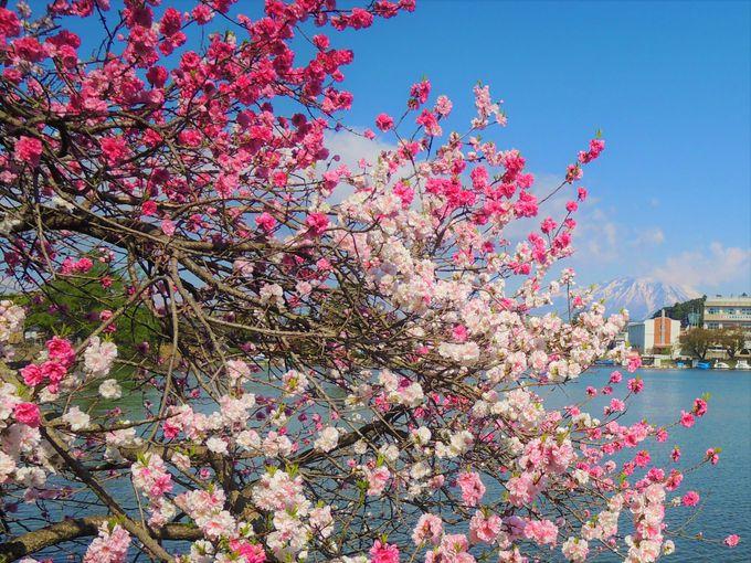 一本の木に紅白の桃が同時に咲く!?「源平花桃」も必見