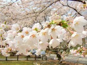 花もグルメも味わいたい!GWは桜香る田沢湖でドライブはいかが!?