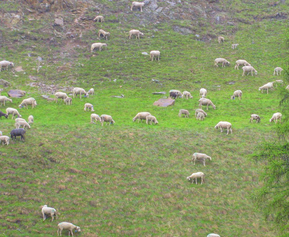 ペーターはどこ!?転げ落ちそうな崖で草を食む羊や牛に注目!