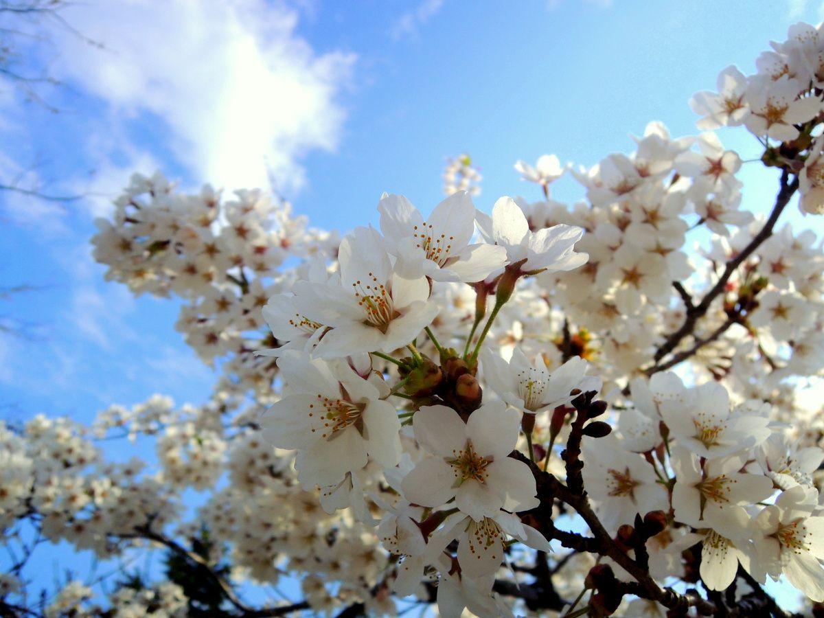 GWにやってくる桜前線。一斉に花咲く北海道札幌の春!