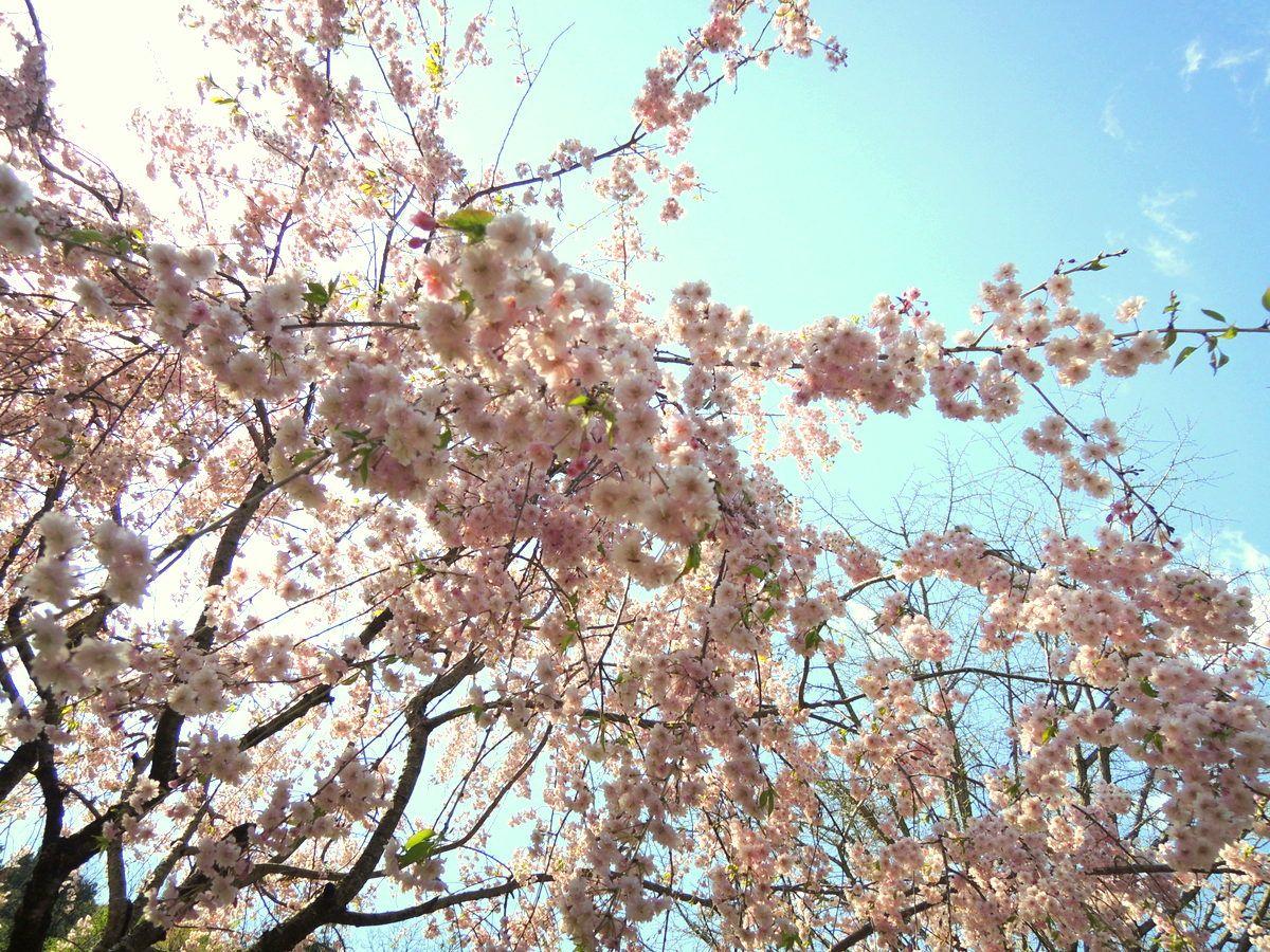 「高松の池」の由来と桜の見ごろ