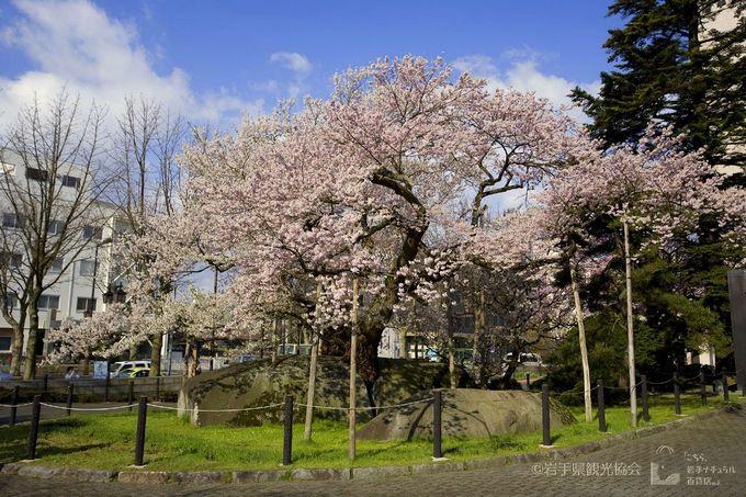 天然記念物「石割桜」はバスに乗っていると窓から見える