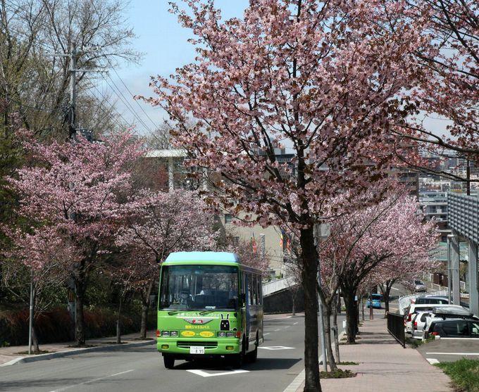 藻岩山へ誘う桜並木の坂道