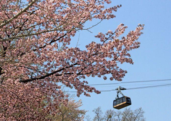 ロープウェイから見下ろす桜色の札幌の街