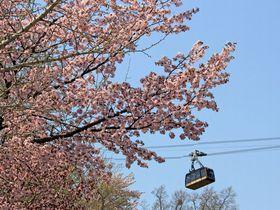 札幌の空からお花見!?桜と新緑のコラボを楽しめる藻岩山の春散歩