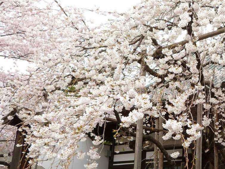 盛岡には国の天然記念物の桜が2つ!龍谷寺の「モリオカシダレ」