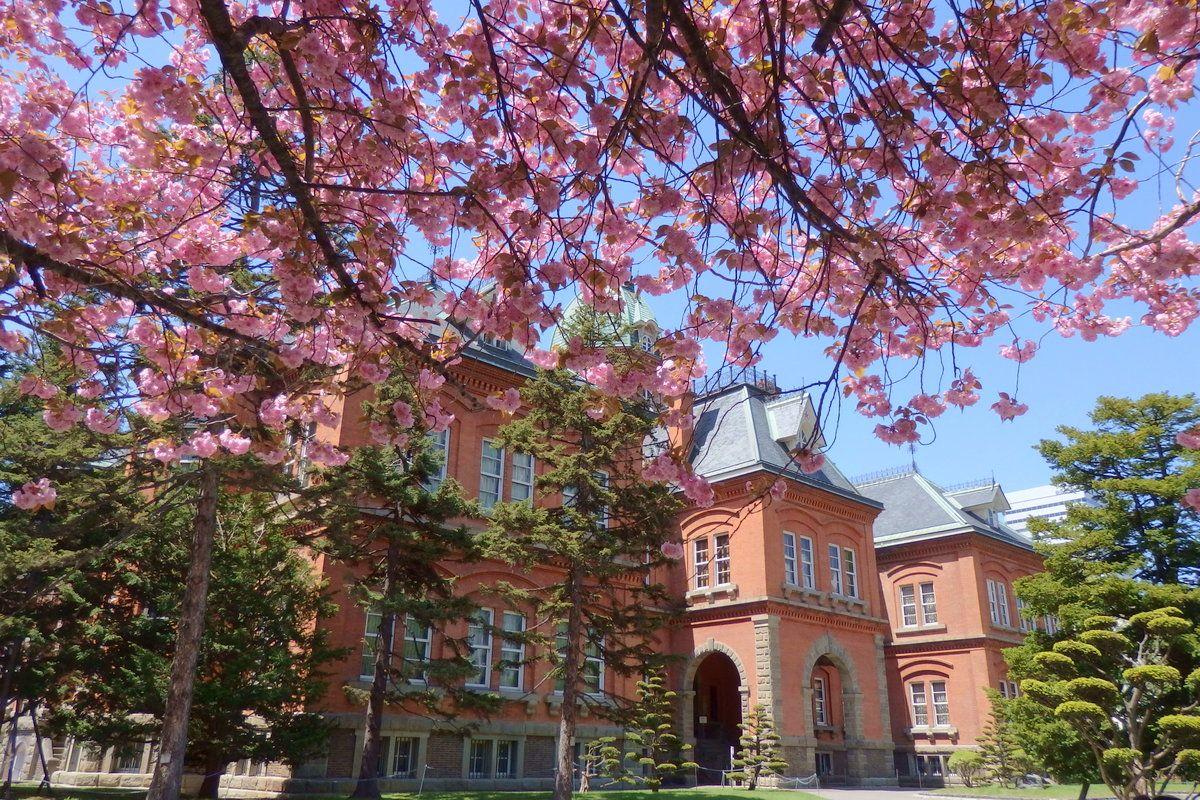 最も華やかなのはGWを過ぎ。里桜(八重桜)は5月下旬まで楽しめる