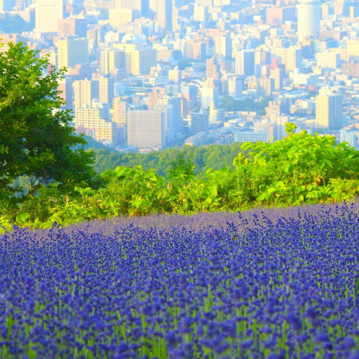 札幌市街が目の前に!市街地にむかって広がるラベンダー畑