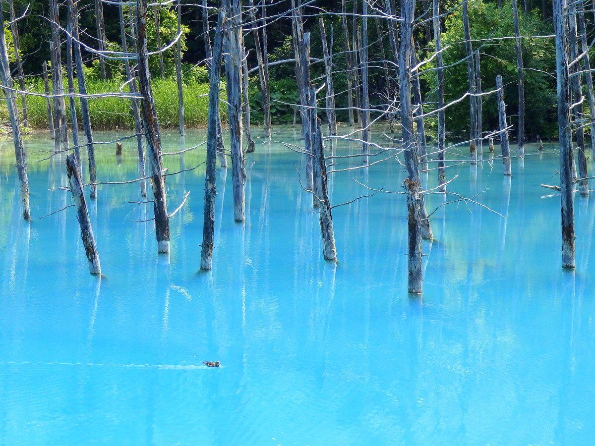 アップル社が認めた!美瑛観光のテッパン「青い池」