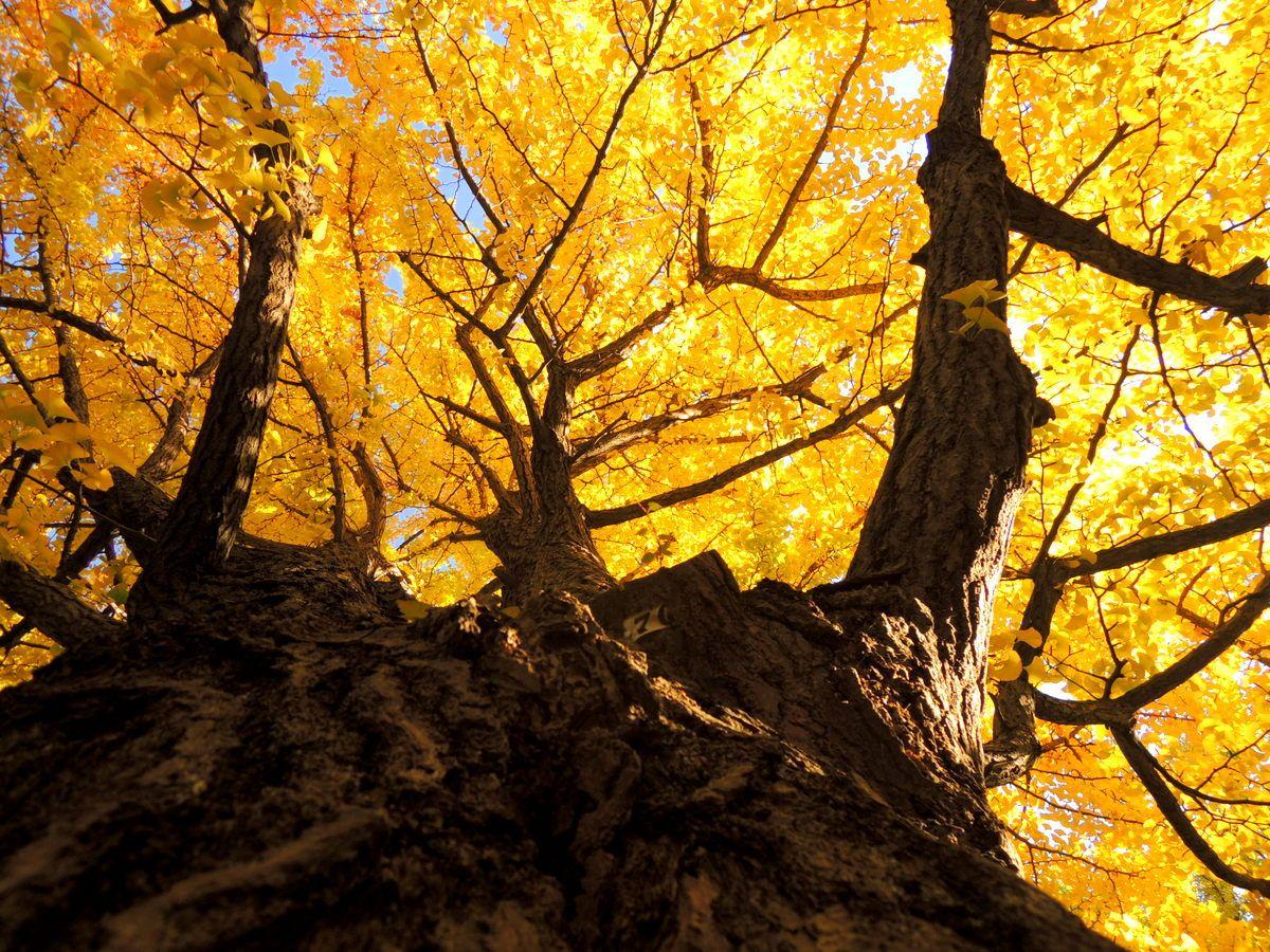 見て愉しむ、撮って愉しむ北海道大学のイチョウ並木