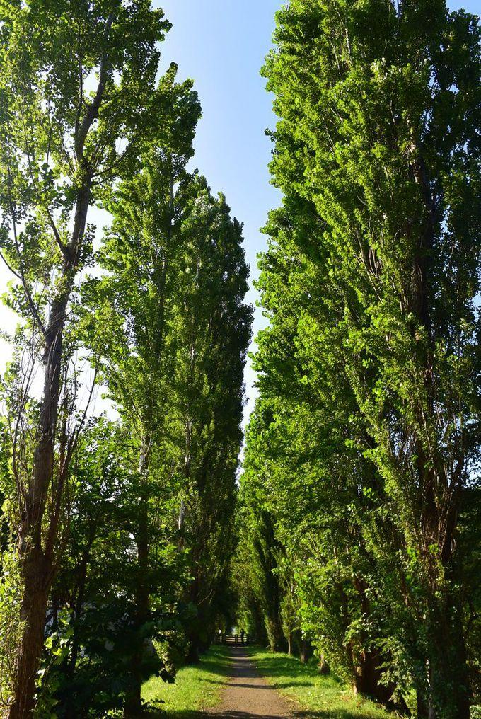 有名なポプラ並木を散策!