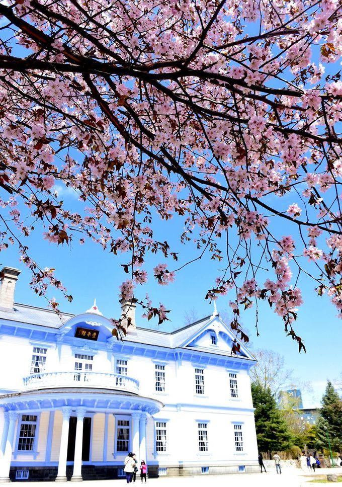 桜が両手を広げたみたい!撮影スポットがいっぱい。