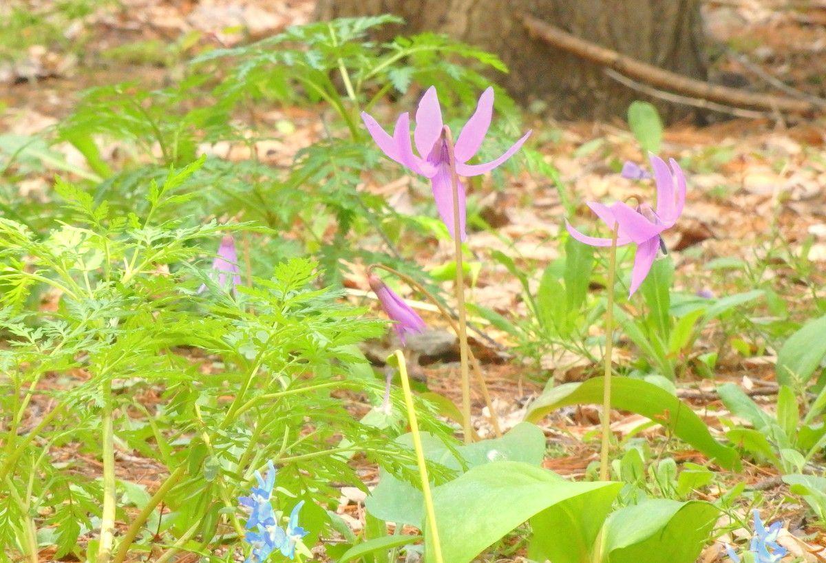 萌黄色の若草と桜のコラボする足元にも春が。
