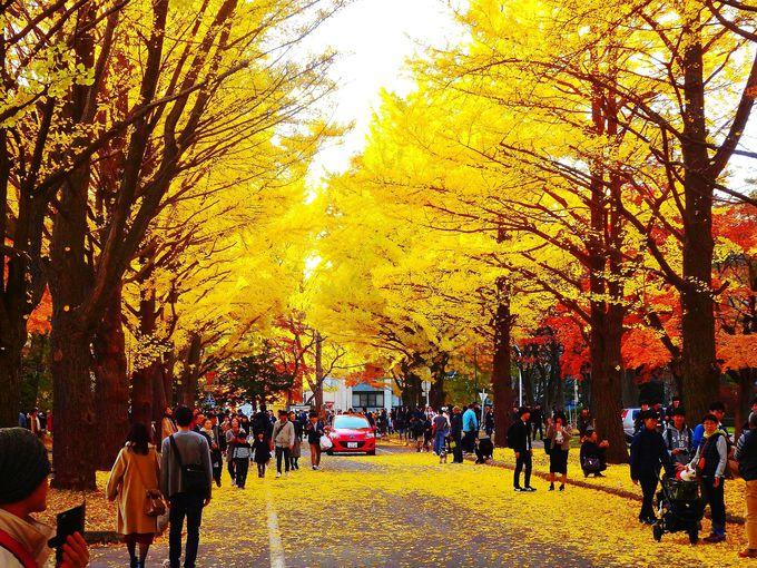 北海道大学・イチョウ並木へのアクセスは?最寄駅は地下鉄「北12条駅」