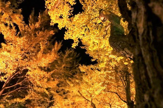 「北大金葉祭(こんようさい)」に行われるライトアップ