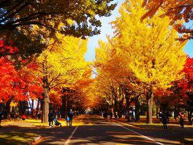北海道大学「イチョウ並木」で紅葉狩り!2019年一般開放とライトアップ