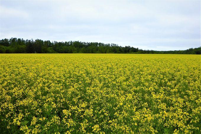 こんな絶景見たことない!十勝の畑は季節の美しさが満開