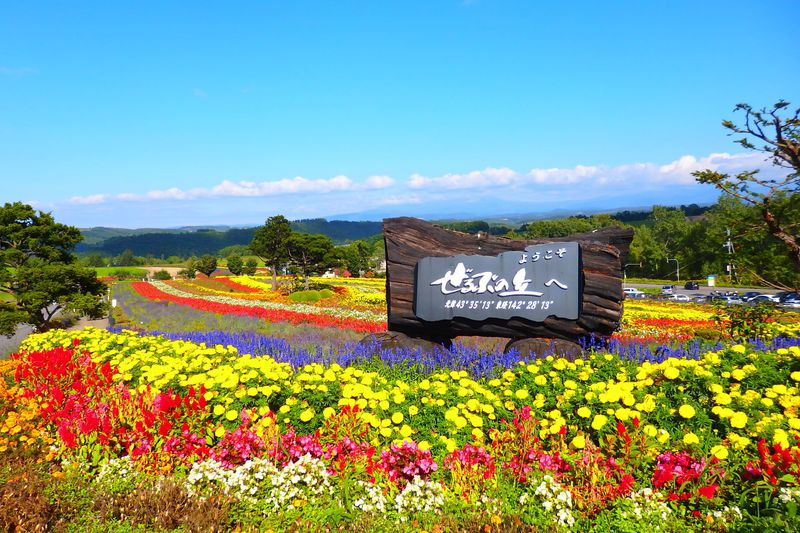 美瑛「ぜるぶの丘」の見頃は?バギーやカートが楽しい国道沿いの花畑を発見