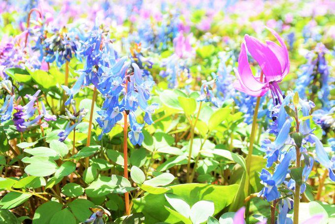 4月下旬〜5月上旬は桜前線が北海道に上陸!