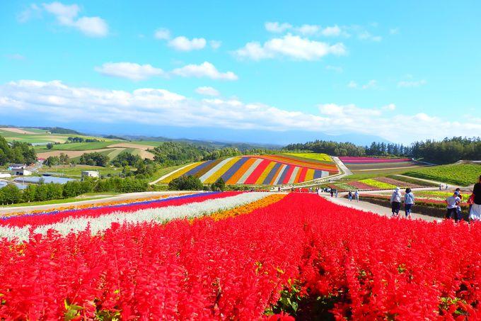「四季彩の丘」へのアクセスは?美瑛観光の見どころは?