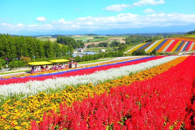 広大な花畑をどう周る?「四季彩の丘」の楽しみ方、巡り方