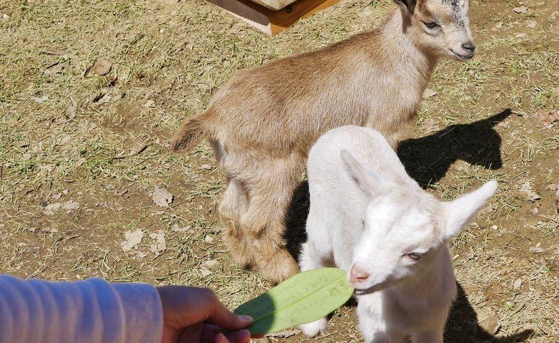 北海道らしい自然も魅力!自由きままなヤギたちが猛烈可愛い