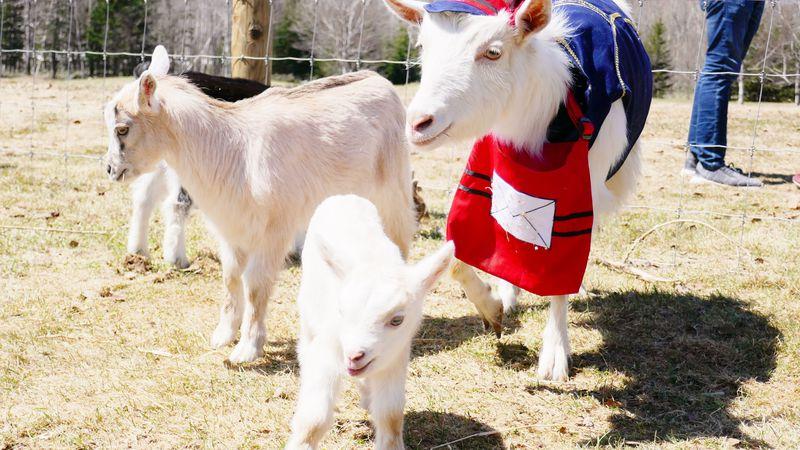 童謡みたい!星野リゾート トマムでヤギの郵便屋さんが子連れ出勤中