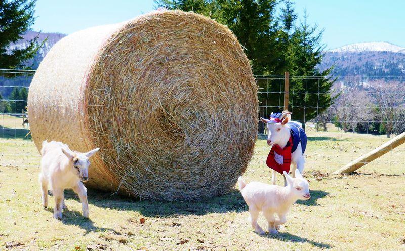 ヤギの郵便屋さんはワーキングママ?双子の赤ちゃんヤギが可愛い