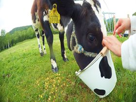 鼻息まで3cm!星野リゾート トマムで牛・羊・ヤギのファーム体験ツアー