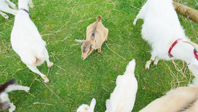 ヤギにも囲まれる!ヤギの身体能力の高さにも注目