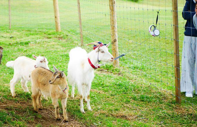 自由きまま!ヤギの自由過ぎる散歩