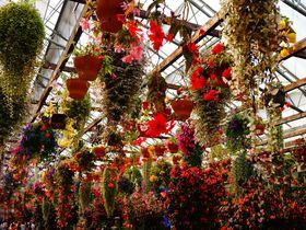ベコニアのカーテンで心も満開に!花と鳥の王国「富士花鳥園」