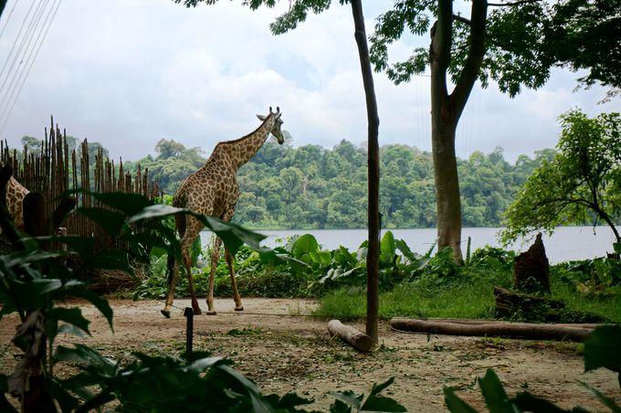 まるでアフリカにいるような気分!広大な熱帯雨林をバックに動物達を眺める