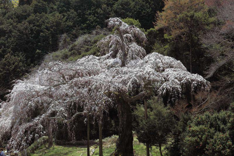 春を彩る樹齢330年の長興山しだれ桜の華やかさ