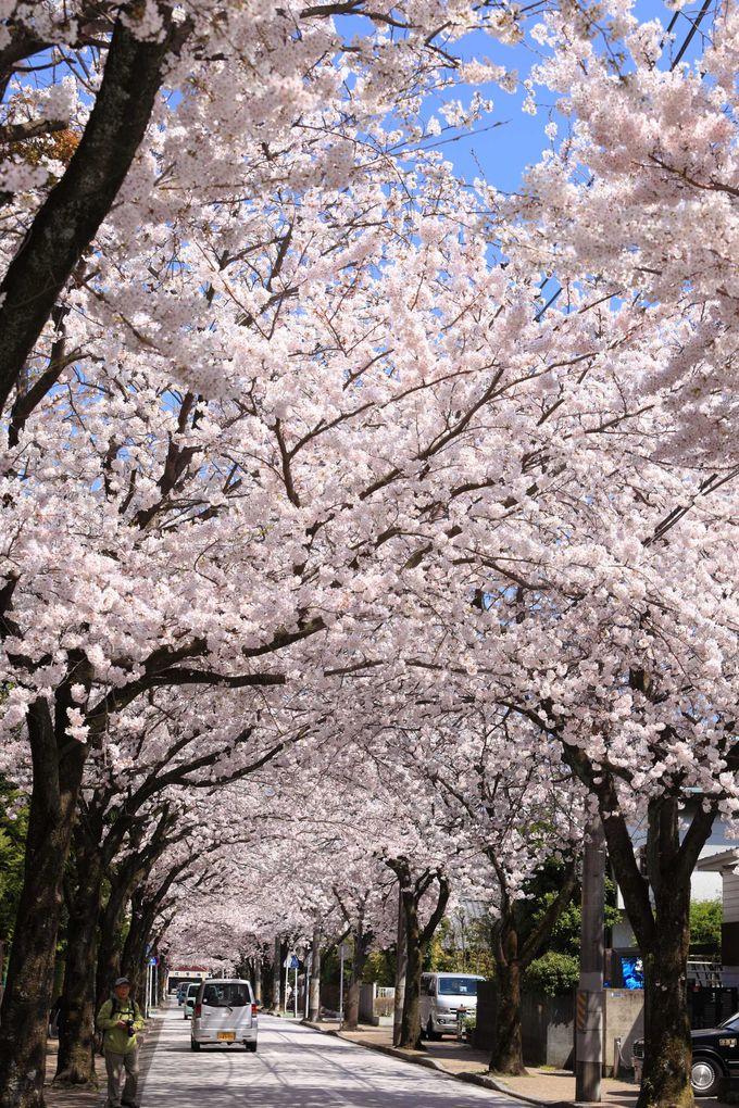 西海子(さいかち)小路はソメイヨシノのトンネル