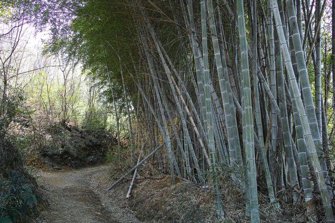 鬱蒼とした竹林を分け入る
