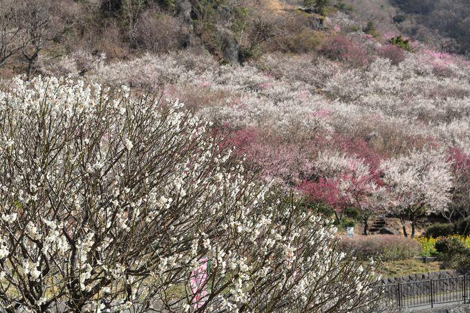 2.湯河原梅林(幕山公園)