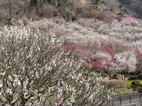 4000本の梅の木が咲き乱れるダイナミックな湯河原・梅の宴!一足早く春の香りを感じよう!!