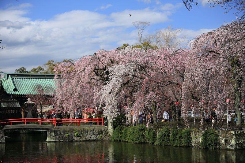 7色のしだれ桜!三嶋大社で見つける春爛漫の静岡の彩